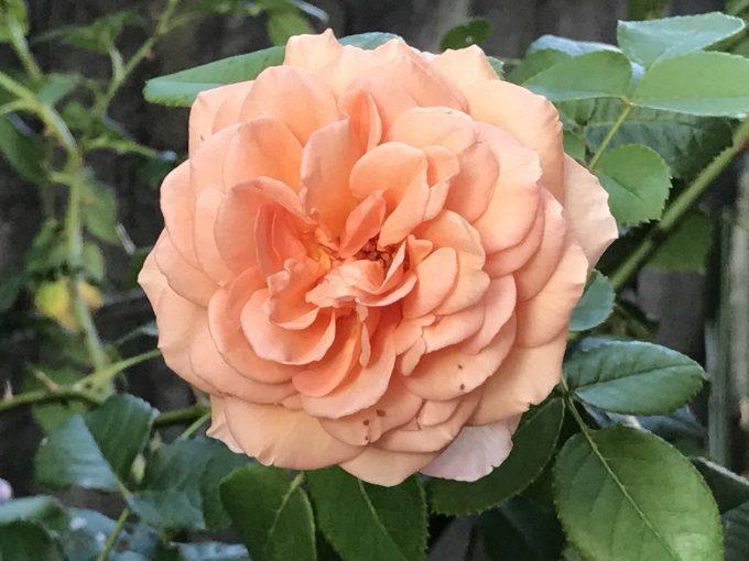 アブラハムダービー二番花