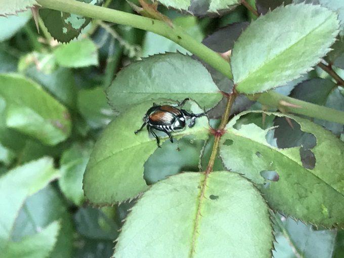 マメコガネの食害