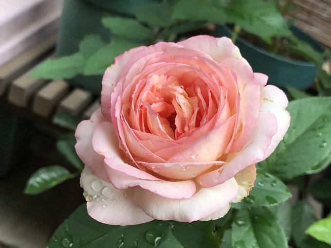 ペッシュ・ボンボンのピンク開花