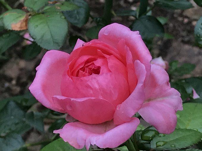 モリナールの三番花