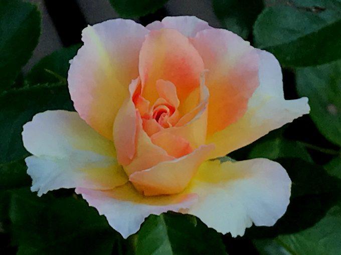 咲き始めのパリジェンヌ