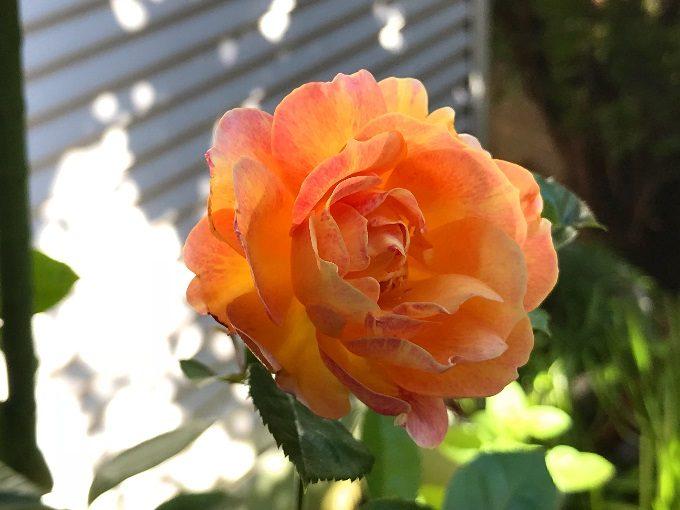 ラ・パリジェンヌの秋の花