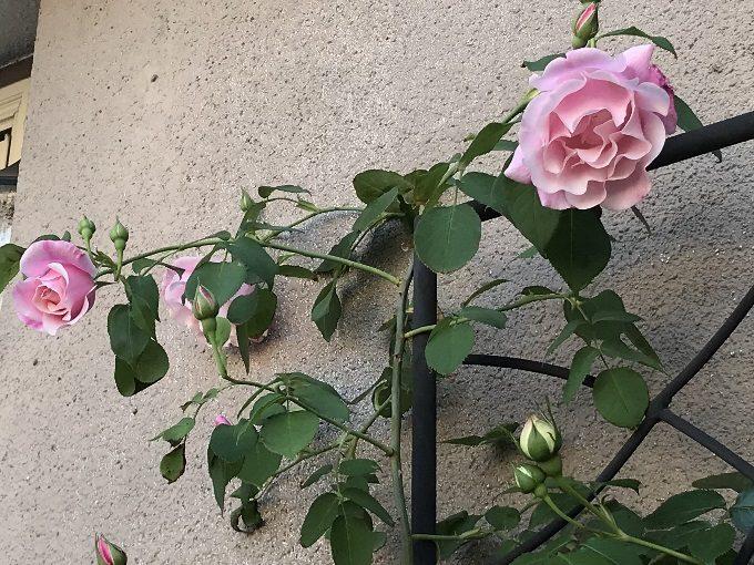 開花したスパニッシュビューティー
