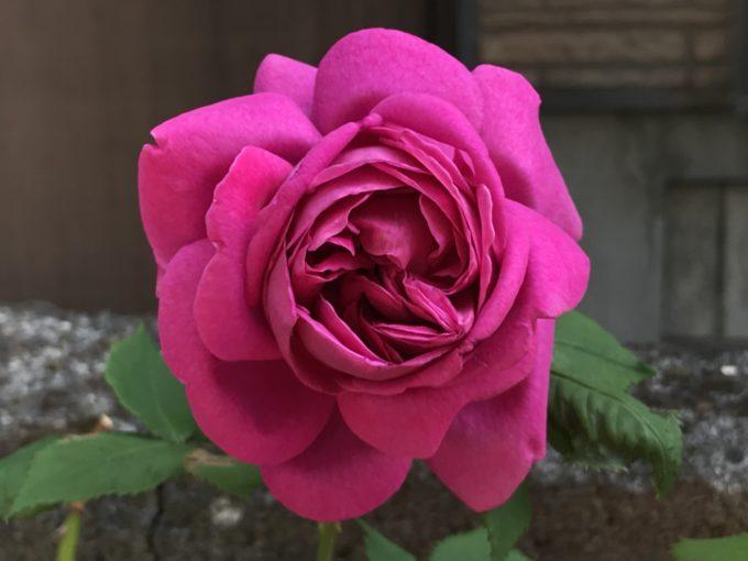 開花したマダムイザークペレール