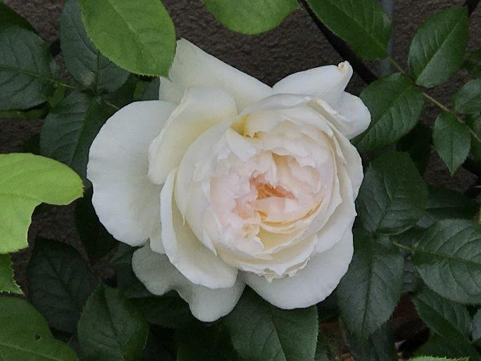 開花したボレロ