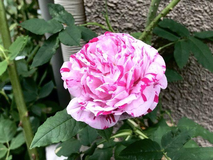 開花したヴァリエガータディボローニャ