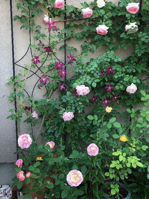賑やかな壁面のバラとクレマチス