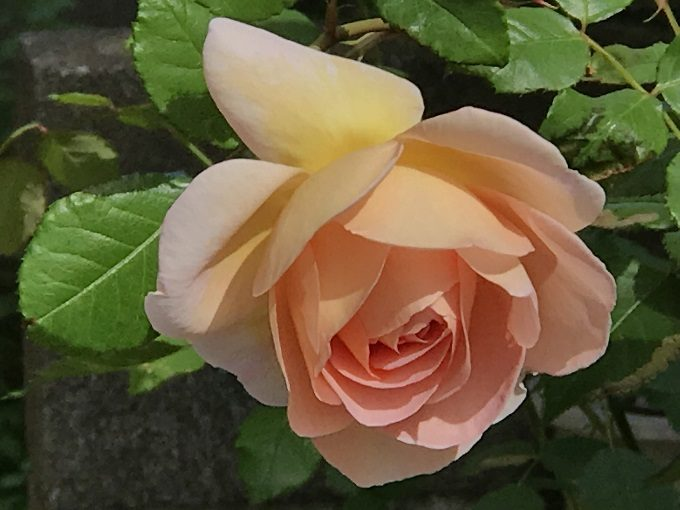 開花したアブラハムダービー