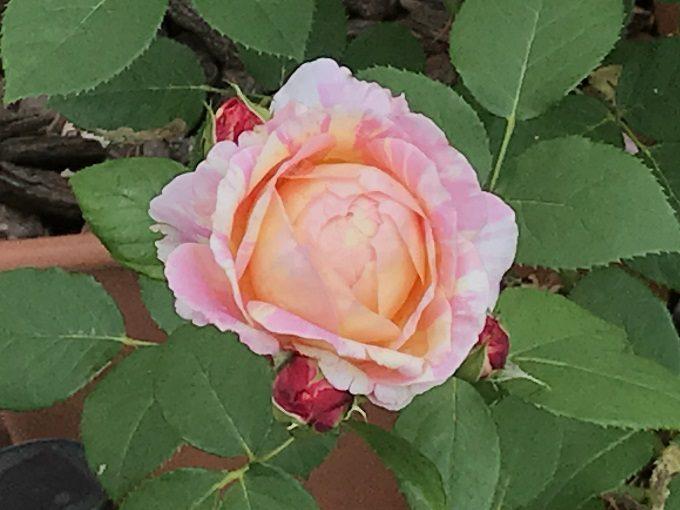 なかなか咲かないクロードモネ