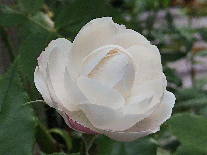 白いオジェ