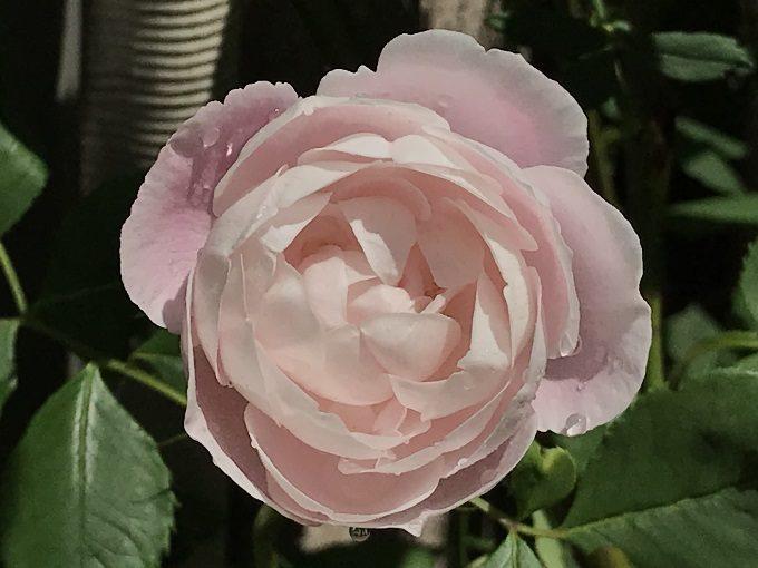 開花したマダムピエールオジェ
