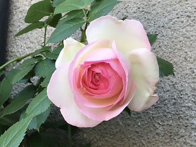 開花したピエールドゥロンサール