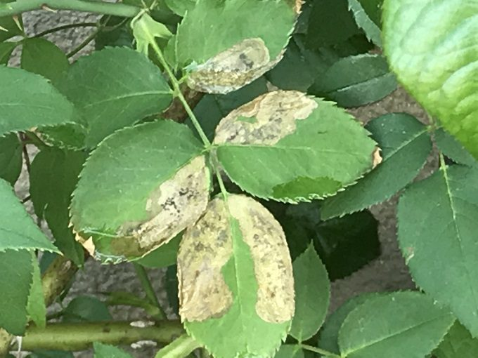 ハモグリガの被害