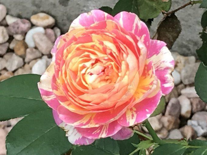 開花したモネの二番花