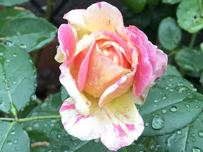 モネの二番花