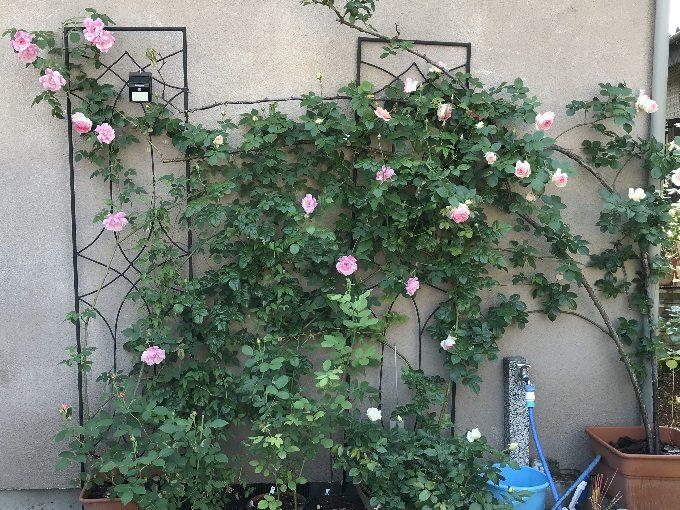 2018年5月4日の壁面のバラ