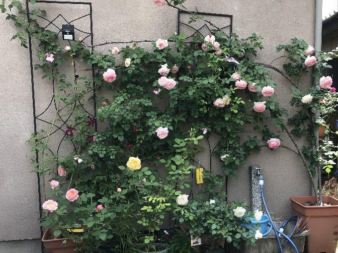 2018年5月12日の壁面のバラ