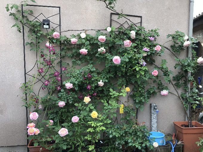 2018年5月17日の壁面のバラ