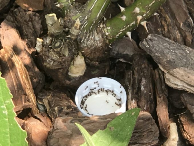 アリメツに群がるアリ