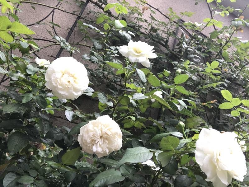 ボレロの花、下からのアングル