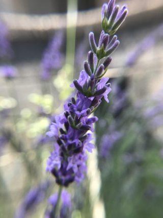 ラベンダーグロッソの花
