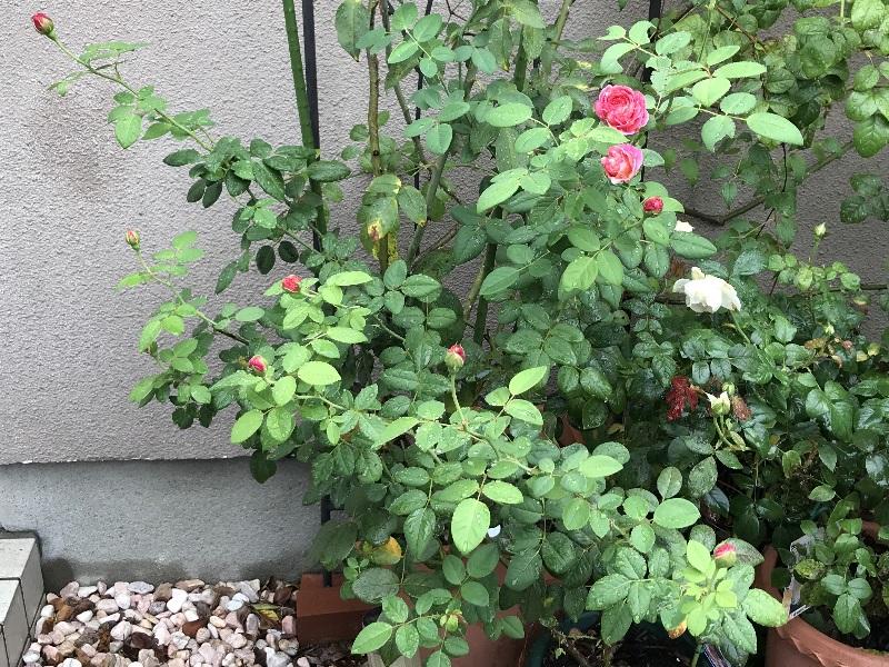 秋の開花前のクロードモネ