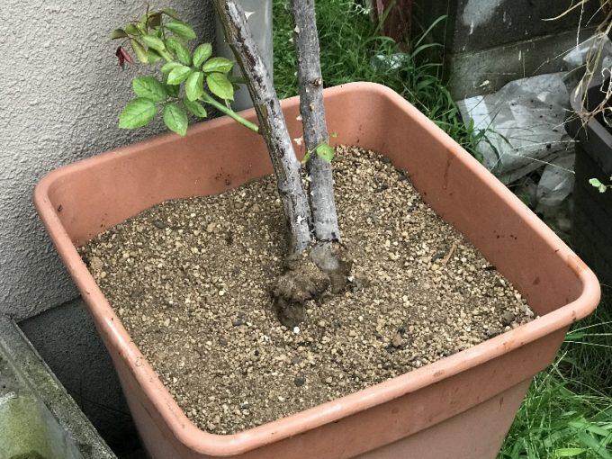 キノコを取り除き表面の土を入れ替えたピエールドゥロンサール