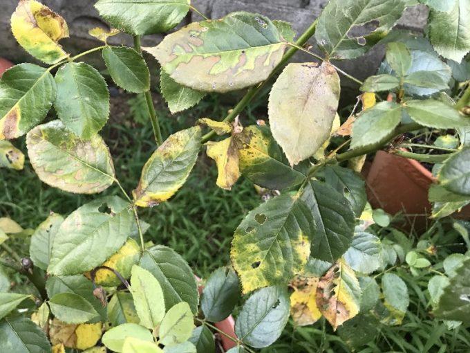 怪しい症状の8月のモリナールの葉