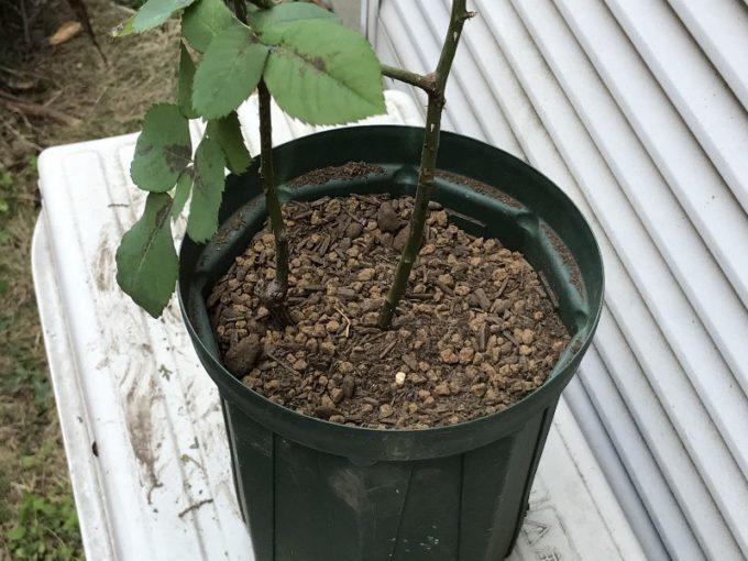 ペレール4号を鉢バラのための培養土に植え替え