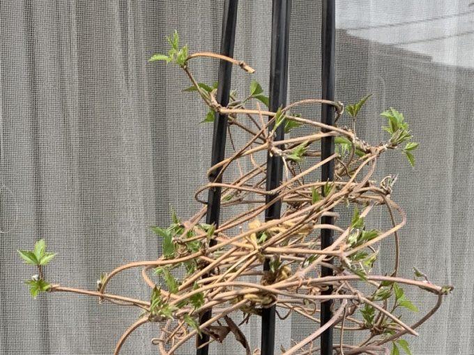 たくさん芽吹いたルーベンス