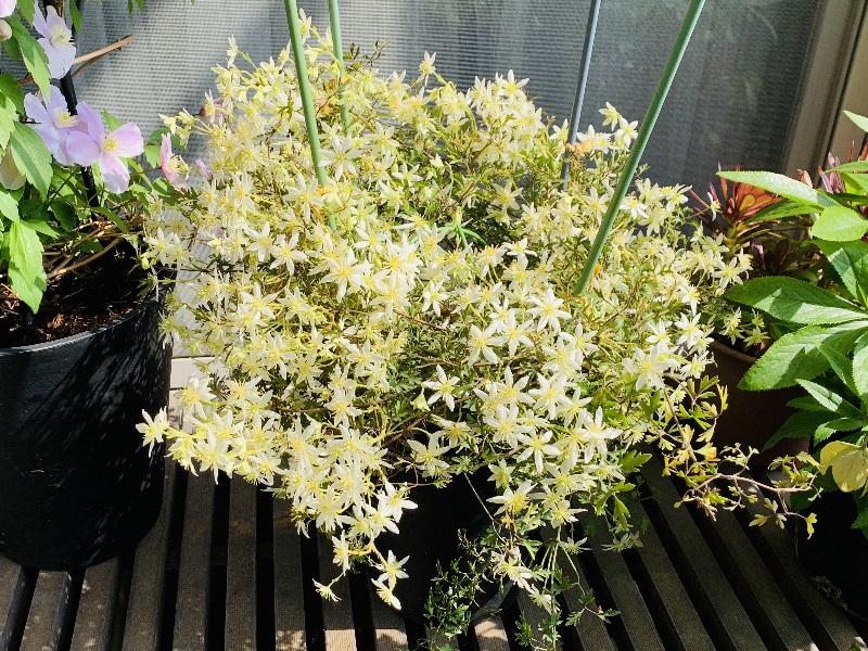 可憐な花に覆われたクレマチスムーンビーム