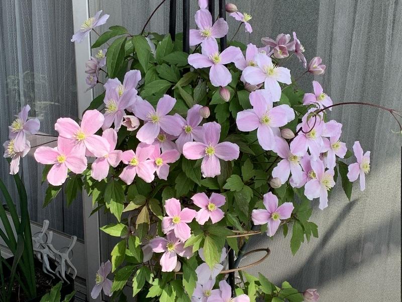 開花したクレマチスルーベンス