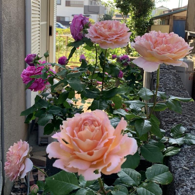 大輪の花を咲かせるアブラハムダービー