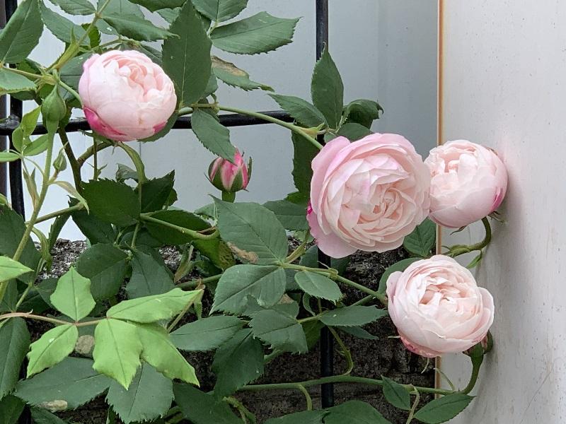 オジェの花