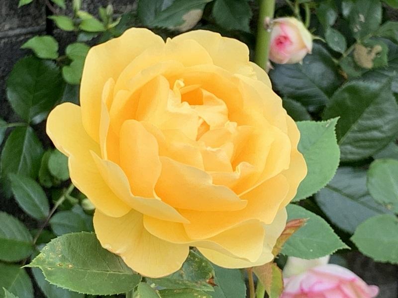 黄色が美しいグラハムトーマス
