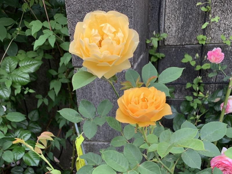 開花したグラハムトーマス