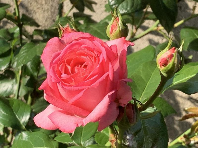 ラローズドゥモリナールの一番花