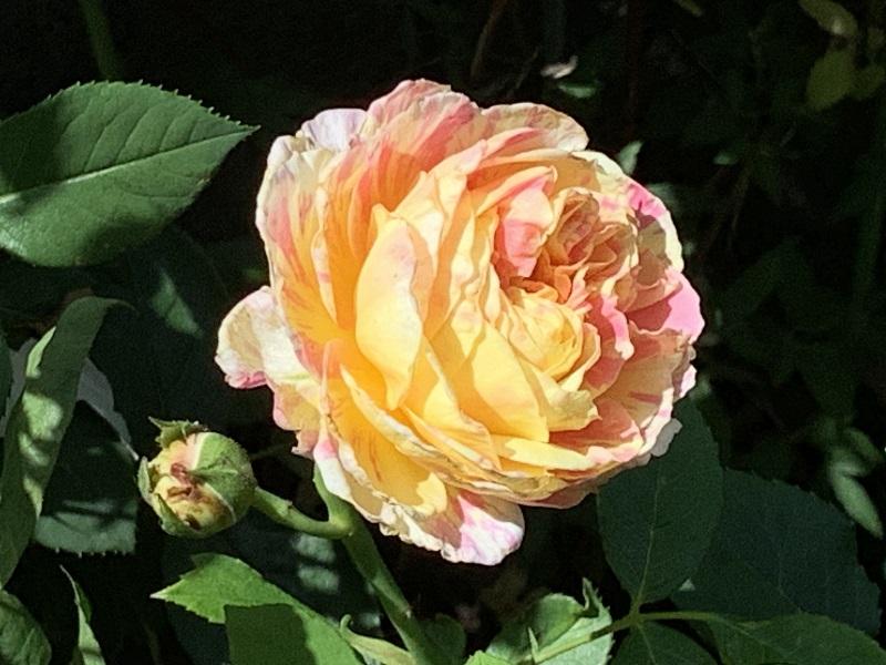 黄色に薄ピンクのモネの一番花