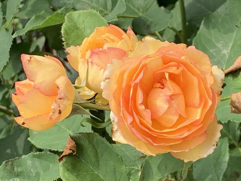 オレンジ色のペッシュボンボン