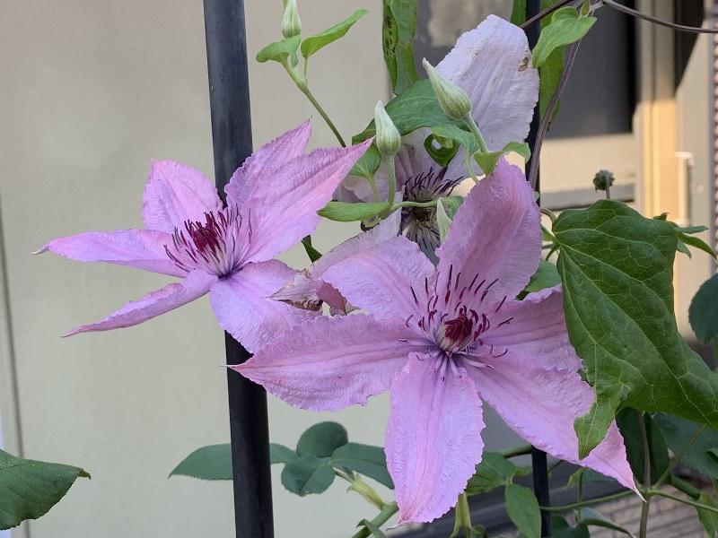 ハーグレイハイブリッドの花