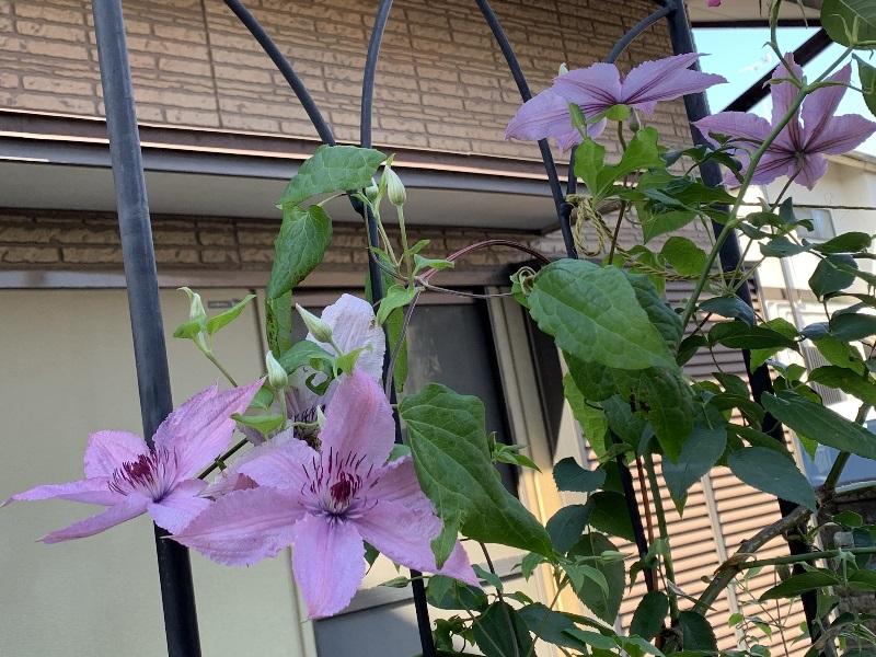 開花したハーグレイハイブリッド