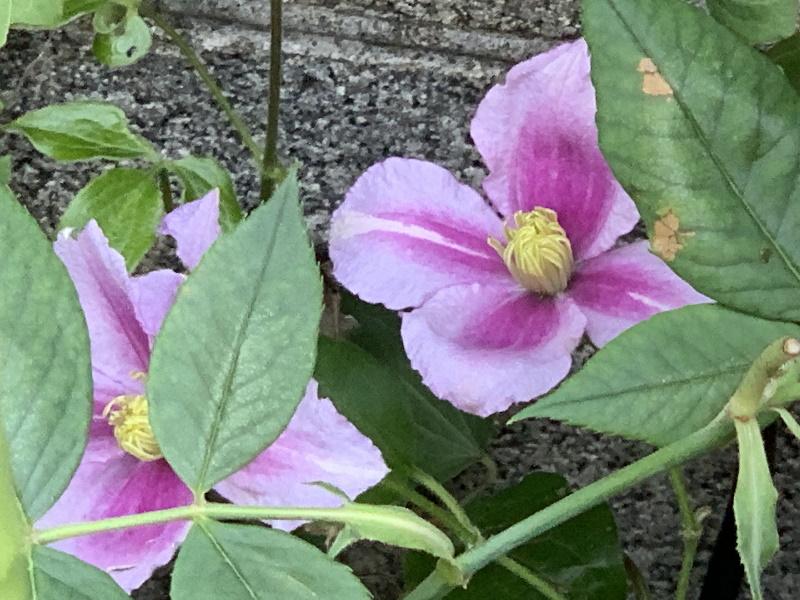 開花したクレマチスピール