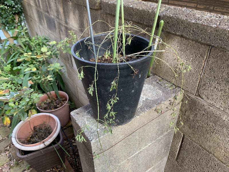 枯れた葉を取り除いたムーンビーム