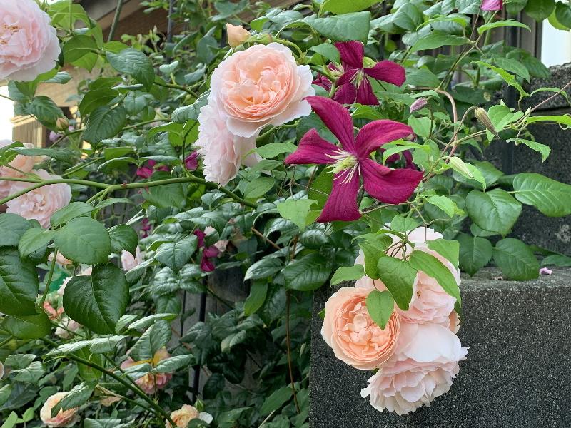 マダムジュリアコレボンの一番花
