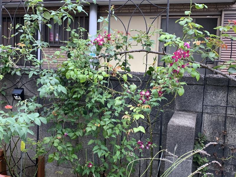 マダム・ジュリア・コレボンの二番花