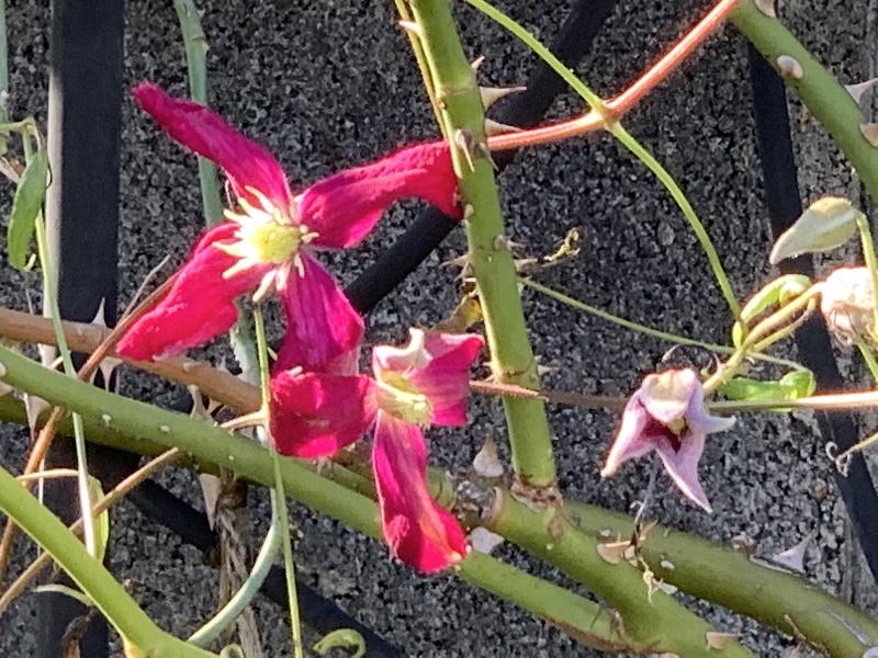 マダム・ジュリア・コレボンの三番花
