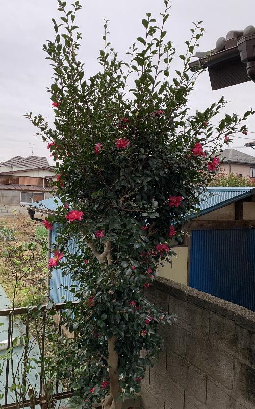 開花した山茶花