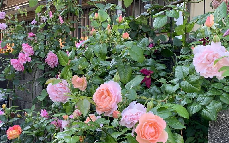 2019年の開花したバラ