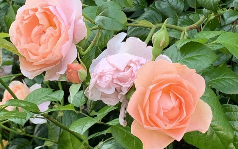 2019年の房咲きのストロベリーヒル