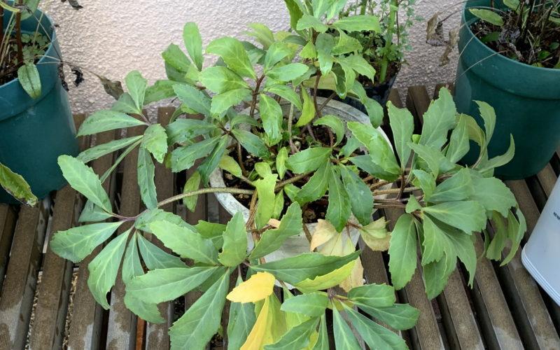 葉が伸びたニゲル